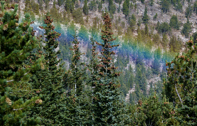 forest bath, shinrinyoku, rainbow, lodgepole, pine, pines, pine trees, trees, forest