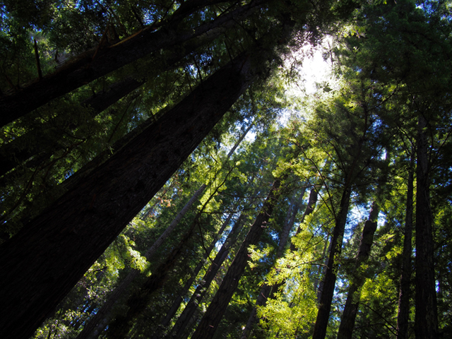 redwood, redwoods, forest, trees, shinrinyoku