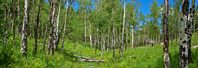 shinrin-yoku, forest bath, forest, aspen, aspens, colorado, trees, forest