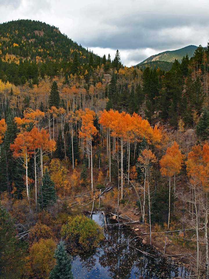 fall colors, fall color, aspen, aspens, orange, yellow, gold, Pike National Forest, forest, trees, grove, Colorado Springs, Colorado