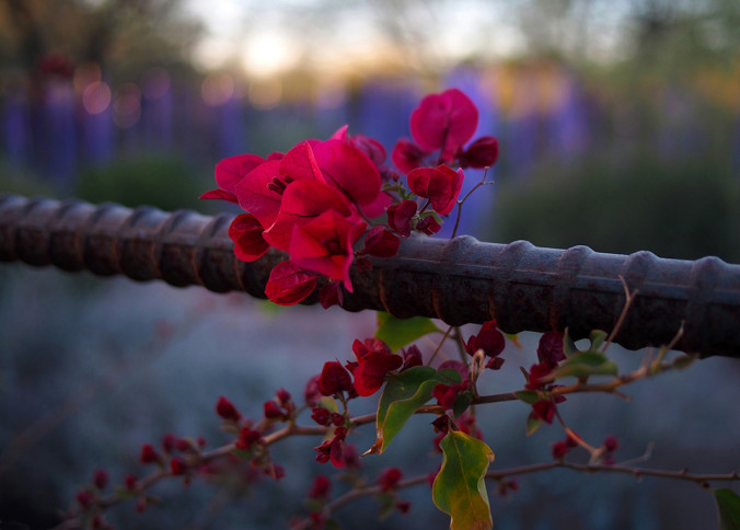 Phoenix, DBG, Desert Botanic Garden, flower, Chihuly, rebar, fence