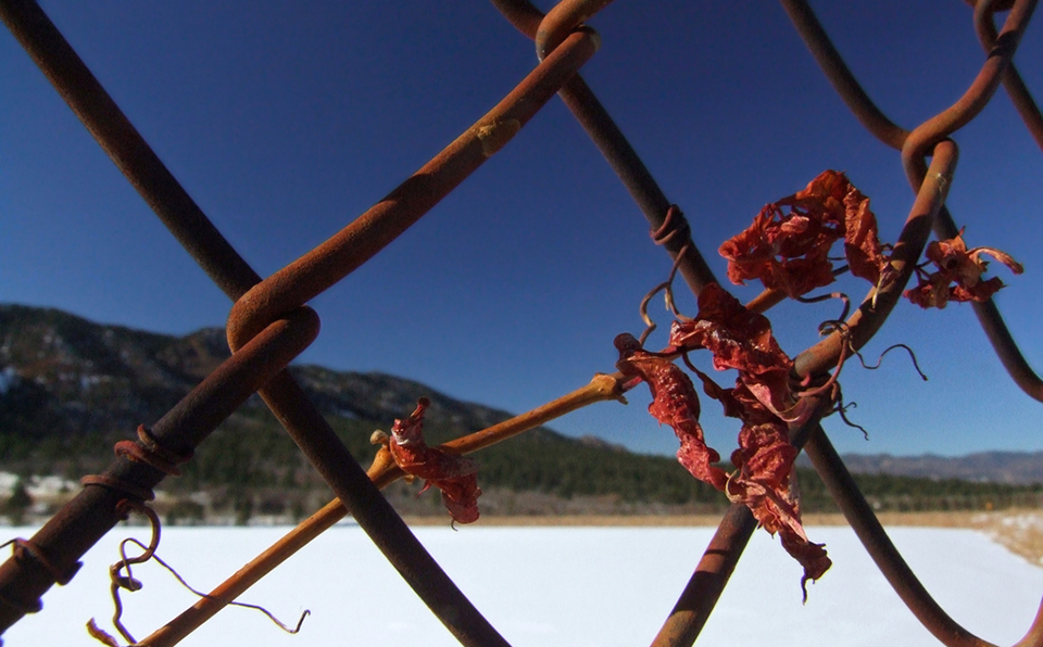 chain link, chainlink, fence, rusty, rust, winter, vine, plant